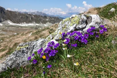 Alpen-Stiefmütterchen