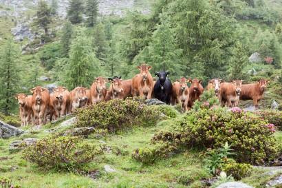 Kühe auf der Bergweide im Wallis
