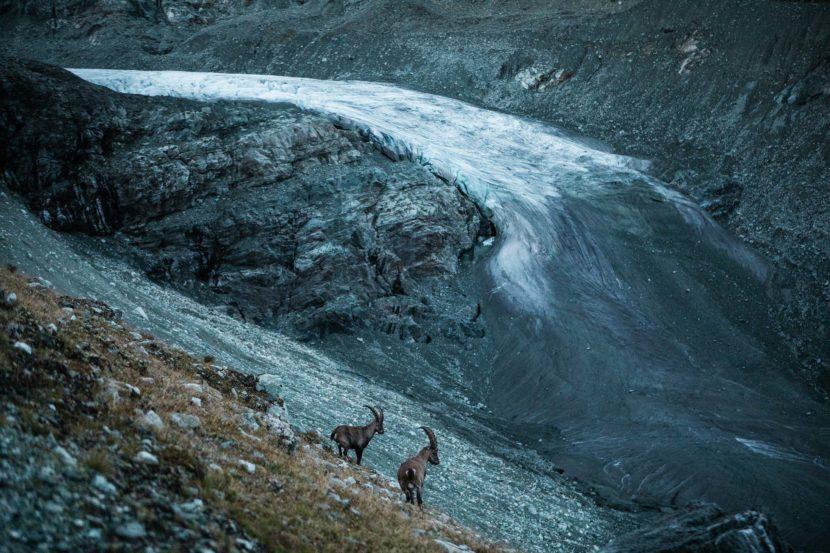 02-ibex-Glacier-de-Moiry.jpg